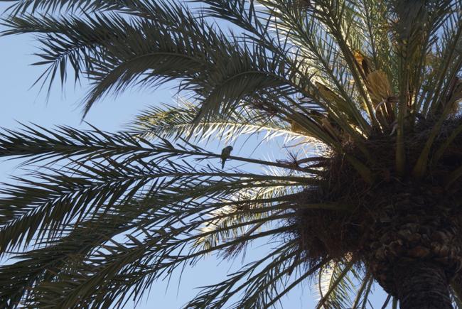 Barcelona, palmboom