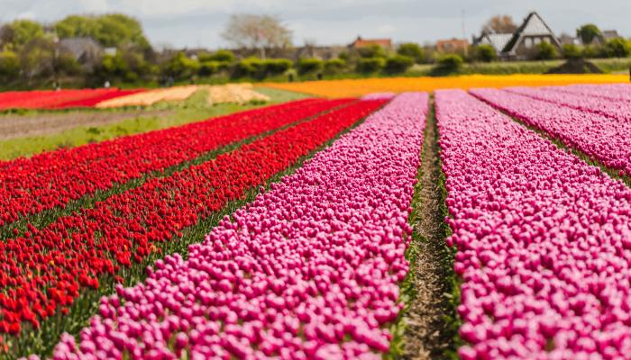 Nederland, vakantieland, tulp